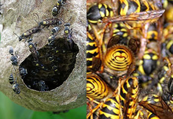 bald face hornets nest yellow jackets