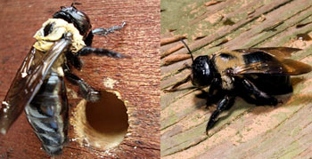 carpenter bees page