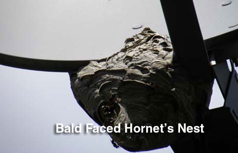 14-baled_faced_hornets_nest-2.jpg