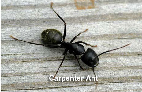 15-carpenter_ant.jpg