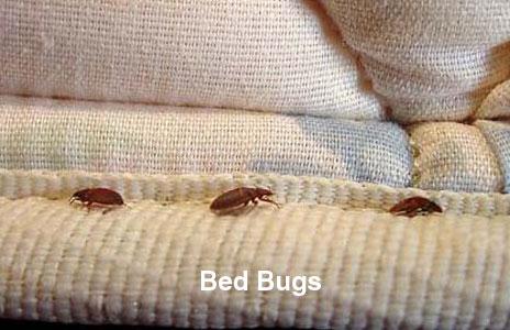 16-bed_bugs.jpg