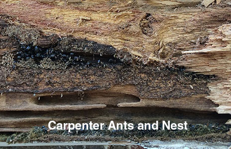 2-carpenter_ants.jpg
