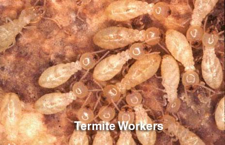 7-termite_workers.jpg
