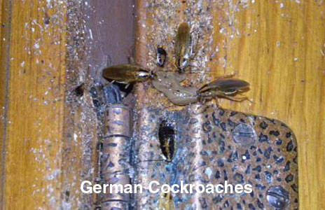 8-german_cockroaches.jpg